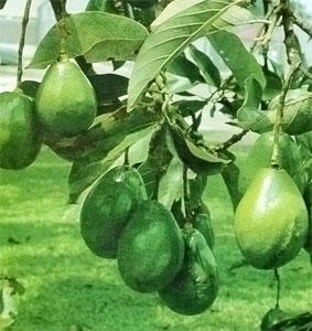 Авокадо - яичковое дерево