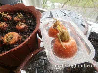 Огород на подоконнике (морковь из верхушки корнеплода)