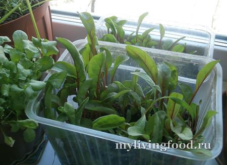 Огород на подоконнике (зелень мангольда и редиса)
