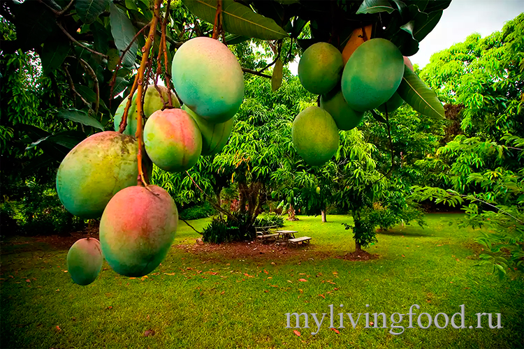 Что такое манго