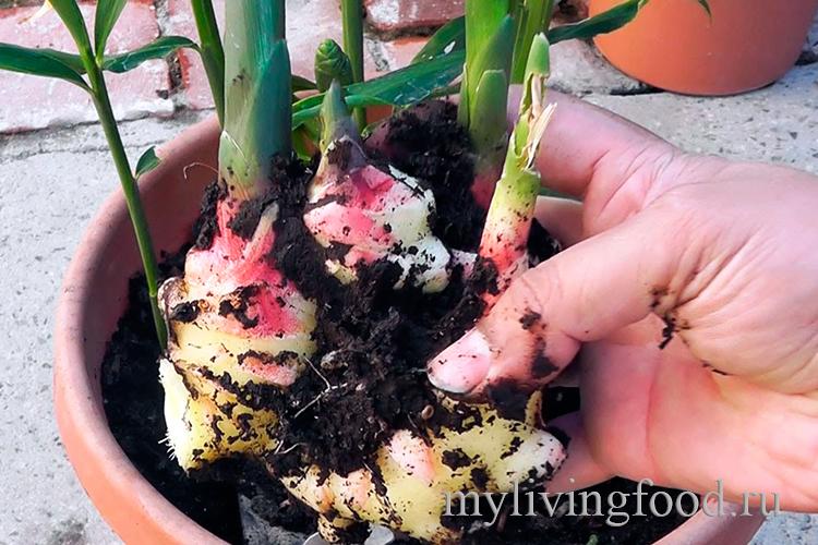 Посадить имбирь